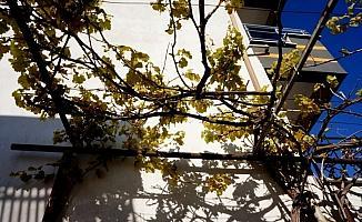 Sarıgöl'de üzüm asması yaprak verdi