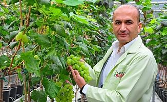 Manisa'da 1453 çeşit üzüm