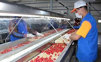 Alaşehir'de kiraz ihracatı başladı