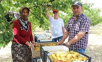 Manisa'da sofralık kayısıda ilk hasat