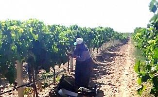 Sarıgöl'de üzüm hasadına başlandı