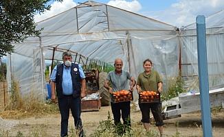 Serada organik domates yetiştirdi, kazancını katladı