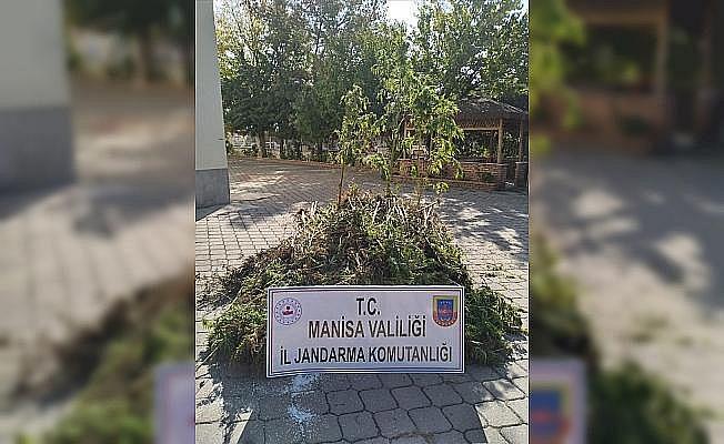 Manisa'da 721 kök kenevir ele geçirildi