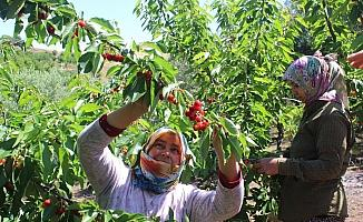 Coğrafi işaret tescilli Salihli Kirazı'nda hasat zamanı