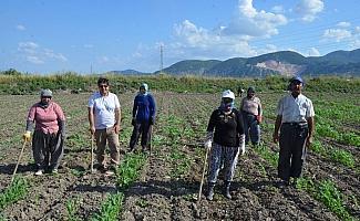 Kırkağaç kavununda ekim yapıldı, hasat ağustosta
