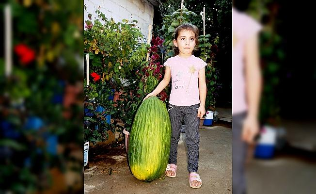 Manisa'da 14 kiloluk devasa acur ilgi odağı oldu