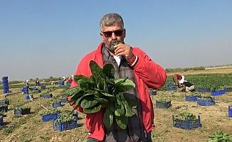 Manisalı üretici 'Biz zehir yetiştirmiyoruz' deyip, çiğ ıspanak yedi