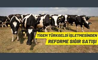 TİGEM'den büyükbaş hayvan satışı