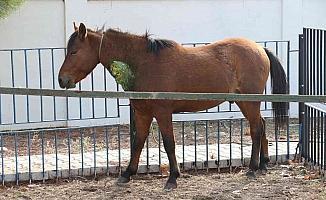 Yaralı yılkı atlarının tedavisi devam ediyor