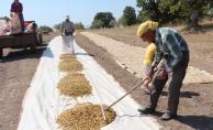 Manisa'da Antep fıstığı hasadı başladı