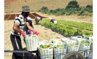 Tarım Bakanı Fakıbaba, üzüm için geliyor