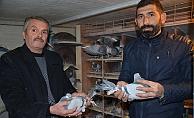 Posta güvercinleri avcı kurbanı oluyor!
